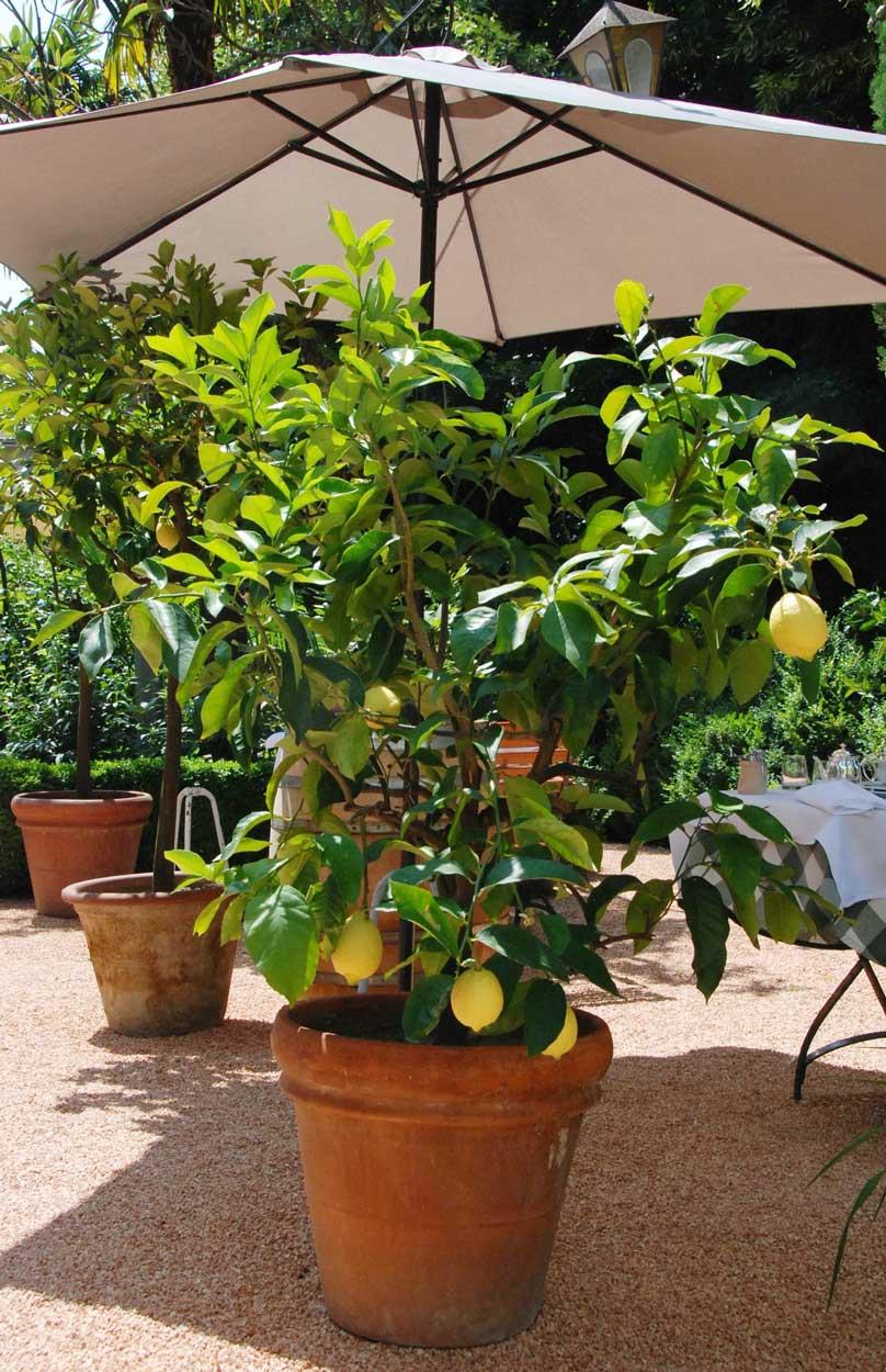 Zitronenbaum im garten der Pension Ottmanngut in Meran