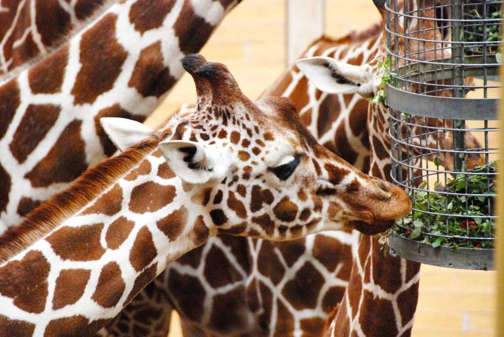zoo-rotterdam-giiraffen-smart-family-travel_2282