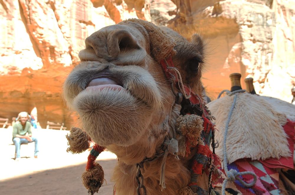Jordanien-Kamel