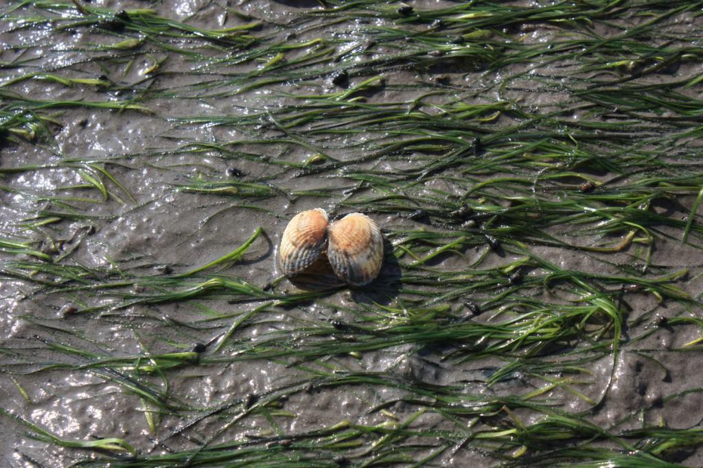 Muscheln im Watt auf Juist