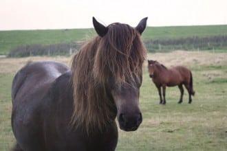 Nette Ponys auf Juist