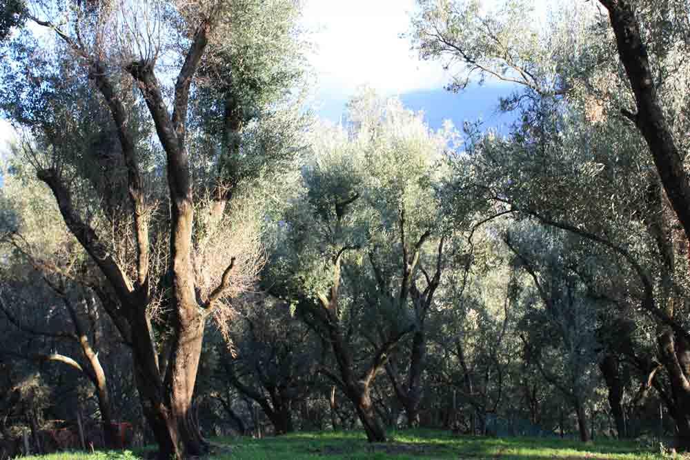oliven-Kalabrien-im-Herbst
