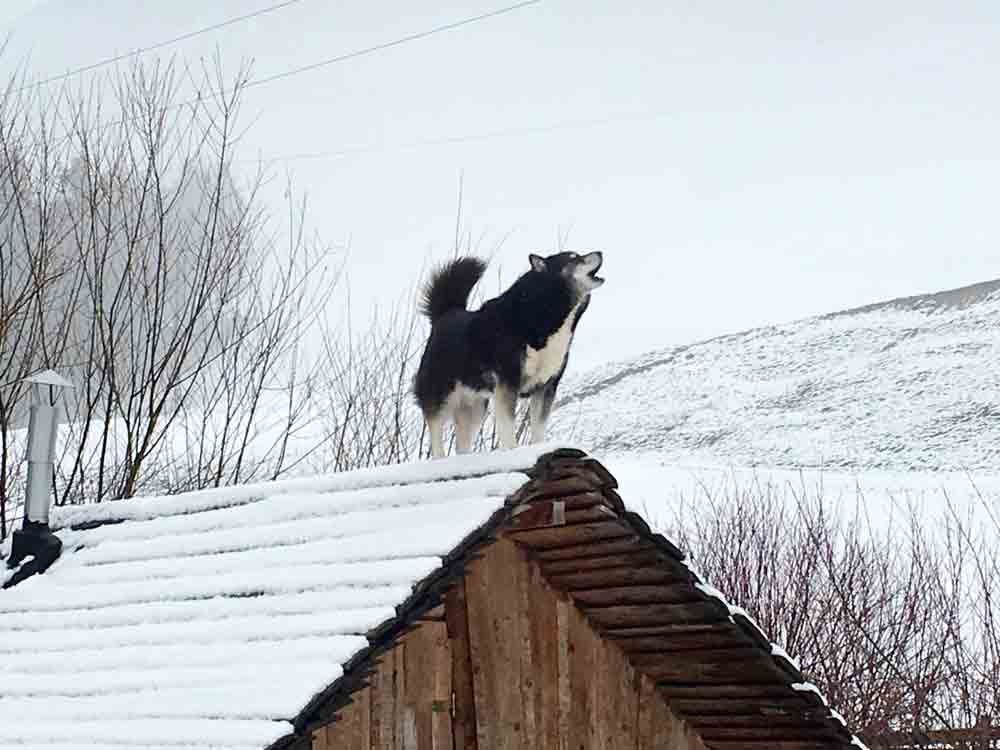 Husky-heult-auf-dem-dach-Huskyranch-Angerberg