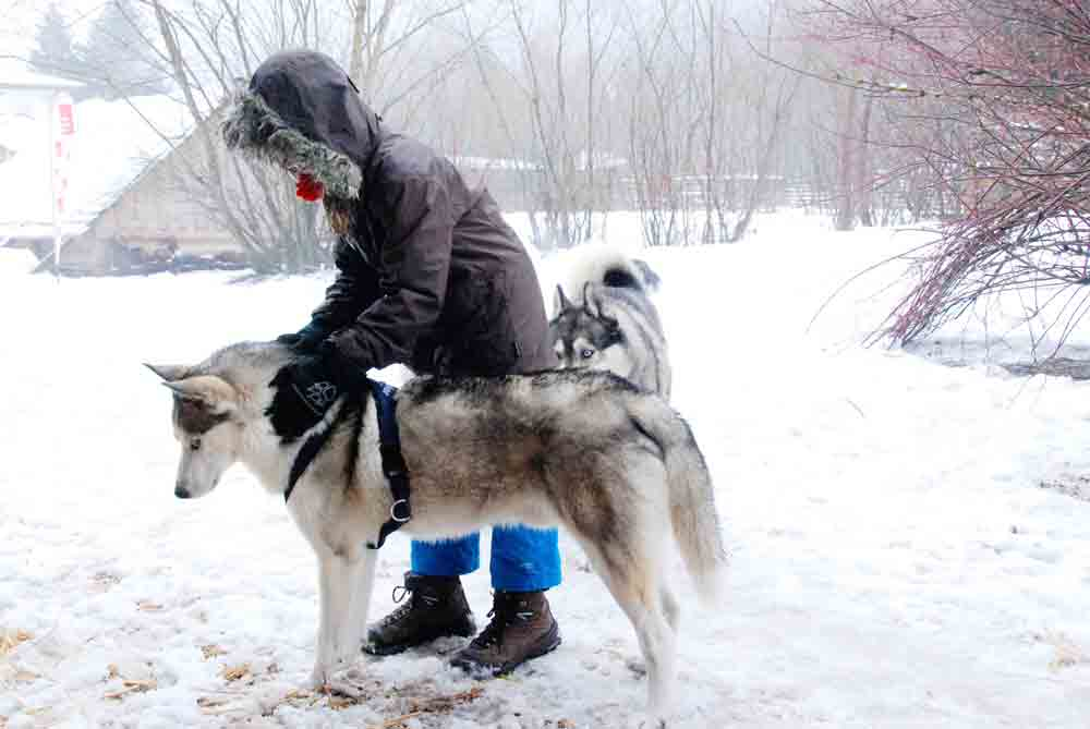 Husky-kraulen-huskyranch-Angerberg