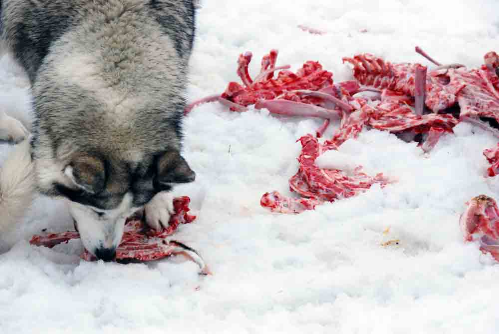 frisches-Fleisch-huskyranch-Angerberg