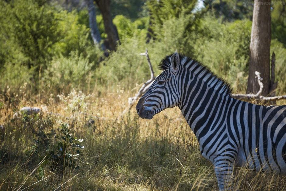 zebra_botswana_safari_afrika