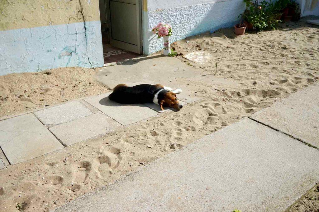 Hund auf Ilha da Culatra eine Insel die keiner kennt