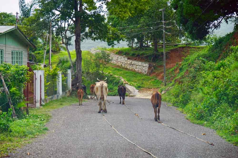 Rundreise auf Jamaika Kuehe auf der Strasse