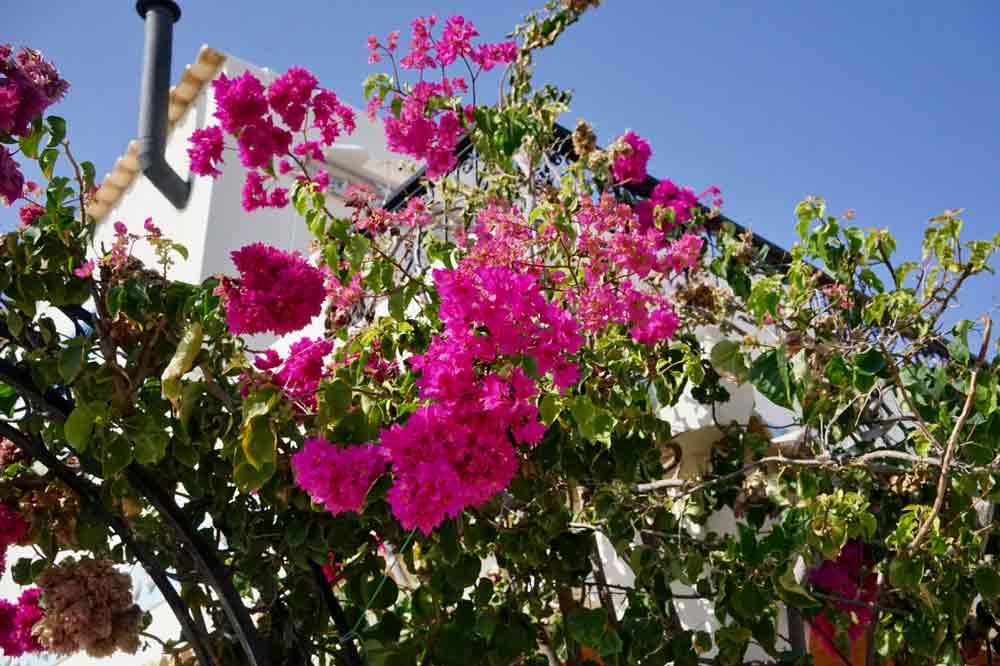 Blumenpracht auf Ilha da Culatra eine Insel die keiner kennt