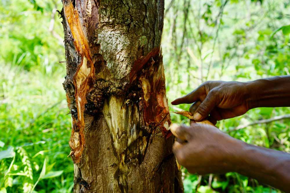 Baumrinde Jamaika