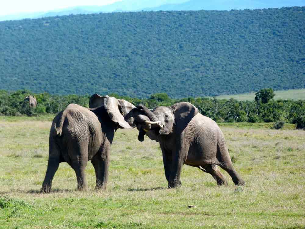 Elefanten auf der Safari