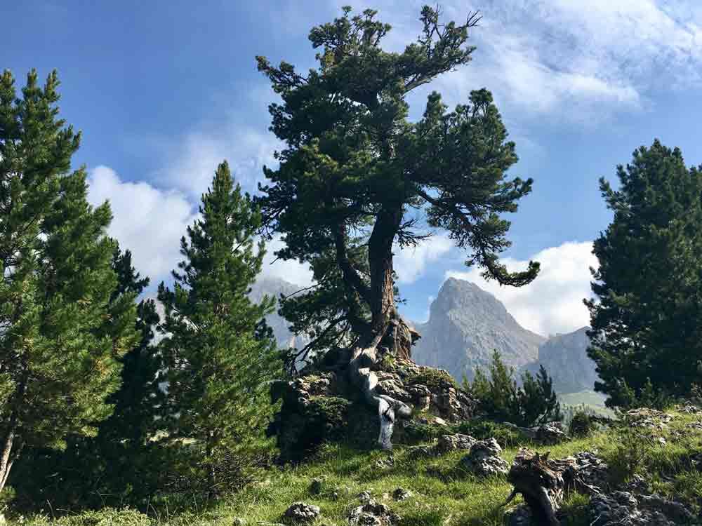 Kiefer am Wegesrand Dolomiten Hochtour