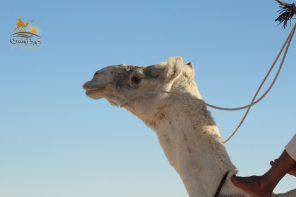 Douz, die Hauptstadt der Kamelrennen in Tunesien